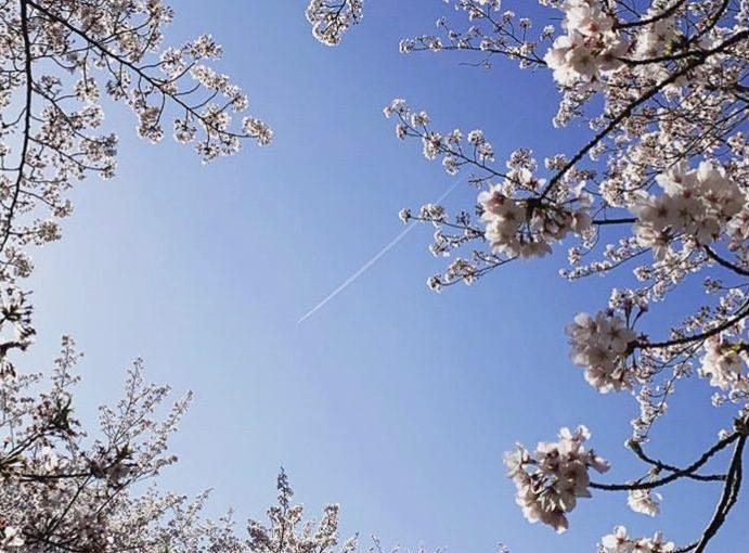満開の桜の中で。